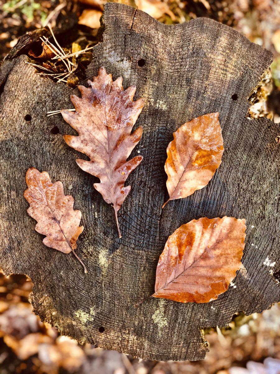 Herbstliche Blätter auf einem Baumstumpf | Kaiserbäder Usedom